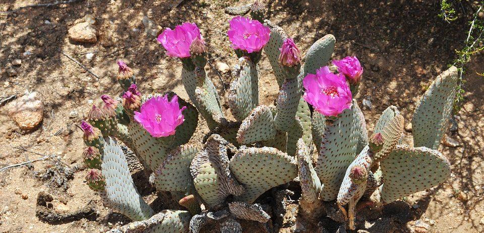 flores de cactus en el desierto de Chile